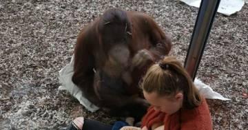 Allatta davanti a una gorilla: il video di questa neo mamma è emozionante