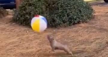 Il cane sembra un fuoriclasse mentre gioca con la palla: il video