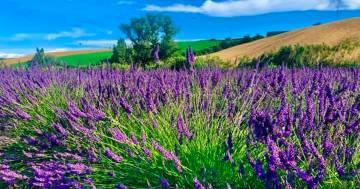 La spettacolare fioritura della lavanda sulle colline pisane: ecco le immagini