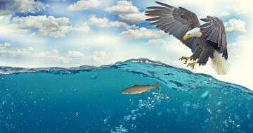 Un'aquila sorvola la spiaggia con un pesce enorme tra gli artigli