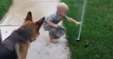 Il cane protegge il bimbo dal getto d'acqua dell'irrigatore: il buffo video