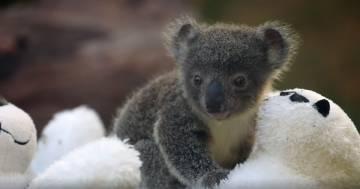 Le bellissime foto dei nove baby koala nati dopo gli incendi in Australia