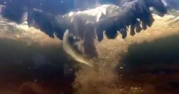 Il falco si tuffa nel lago per pescare una trota, questo video subacqueo è incredibile