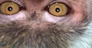 Smarrisce lo smartphone: quando lo ritrova la gallery è piena di selfie di una scimmia malese