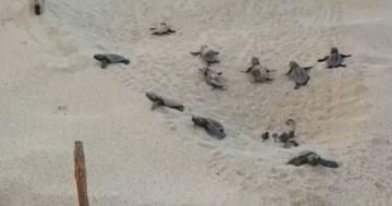 Porto Cesareo: 79 tartarughe appena nate si dirigono verso il mare, ecco il video