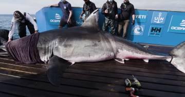 Le incredibili immagini dello squalo gigante scoperto in Canada