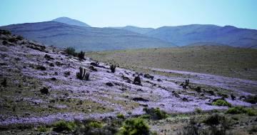 Atacama: il deserto più arido del mondo è tornato a fiorire, le immagini sono spettacolari