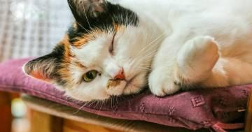 Esiste un'app che traduce i miagolii dei gatti in parole umane