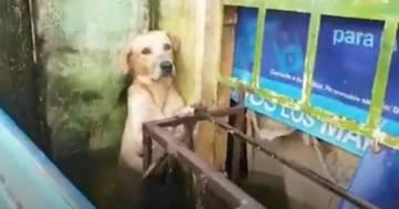 Il cane si salva dall'alluvione rimanendo attaccato alla ringhiera: il video fa il giro del mondo