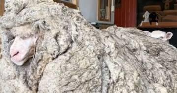 Ritrovata nella foresta una pecora con 35 chili di lana addosso
