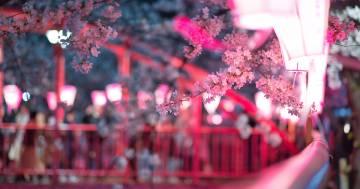 E' arrivata la stagione della fioritura dei ciliegi a Tokyo