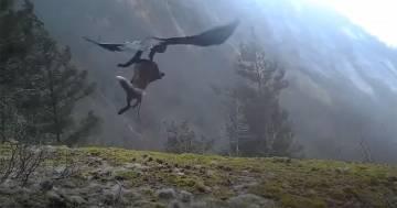 L'aquila afferra la volpe e la porta via in volo: il video è incredibile