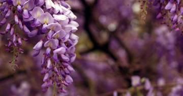 Un'esplosione di colori: la spettacolare fioritura del glicine a Firenze