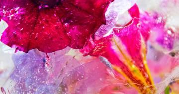 La meraviglia dei fiori racchiusi nel ghiaccio: le foto