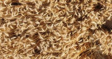 In questo campo di grano si nasconde un leopardo: riuscite a trovarlo?
