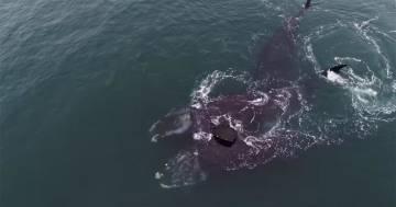 """L'incredibile """"abbraccio"""" tra due balene in mare: ecco le immagini"""