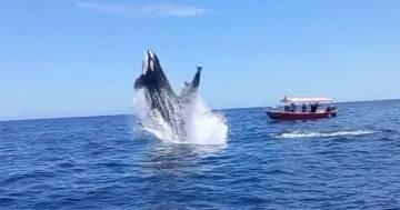 L'orca urta il delfino durante la caccia: il video del salto è spettacolare