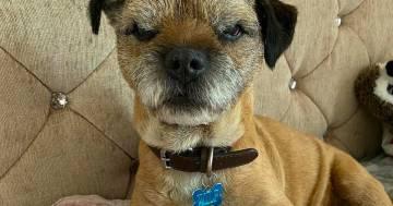 Ecco Wilf, il cagnolino sempre imbronciato che sta conquistando Instagram