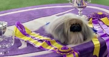 Il pechinese Wasabi è il cane più bello d'America