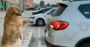 Questo cane aiuta il suo proprietario a parcheggiare: il video diventa virale