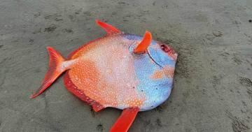 Ritrovato un esemplare di pesce Re nella spiaggia dell'Oregon: pesa 45 chili