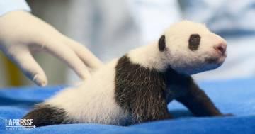 Zoo di Madrid, panda gigante partorisce due gemelli: video e foto degli adorabili cuccioli
