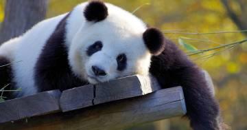 Madrid, come stanno i due cuccioli di panda gigante a una settimana dalla nascita: le splendide immagini