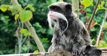 Bioparco di Roma: sono nati due Tamarino Imperatore, le scimmie più piccole al mondo